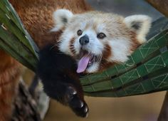 Flynn, a Red Panda, leads a strenuous life at the San Diego Zoo.