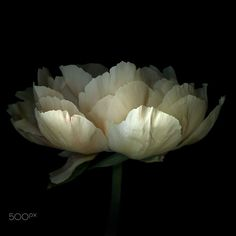 LIGHTER SHADE of PALE, PEONY... by Magda Indigo on 500px