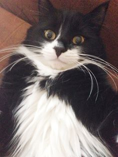 Sweet Ollie, my Tuxedo cat.