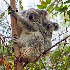 """There is nothing better than spotting #koalas in the wild, and these little fellows were just…"""