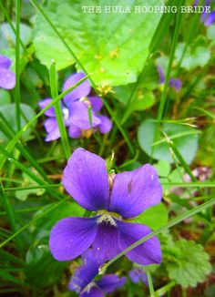 Wild Violets #spring