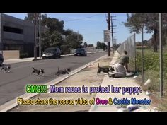 Oreo races to protect Cookie Monster. Now both are looking for a home. Apr 2015 ~ https://www.youtube.com/watch?v=Zy97RgzxhJg DONATE:http://www.hopeforpaws.org/donationrecurring I gave