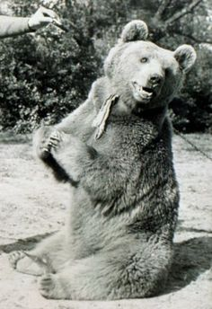 Wojtek the Bear served with Polish soldiers during WWII (and retired with the rank of Sergeant). The much-loved bear helped load ammunition onto army trucks and kept the men's spirits up with his antics. Battle Of Monte Cassino, Animals Beautiful, Cute Animals, Animal Heros, Transportation Unit, Love Bear, More Cute, Brown Bear, World War Two