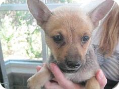 San Antonio, TX - Chihuahua Mix. Meet A307229, a puppy for adoption. http://www.adoptapet.com/pet/11548518-san-antonio-texas-chihuahua-mix