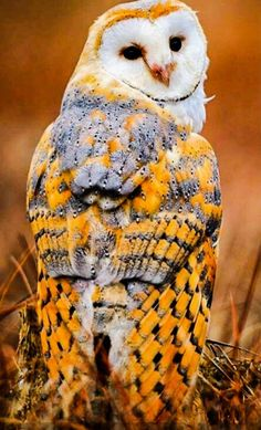 Golden with Flecks Owl Photos, Owl Pictures, Cute Birds, Pretty Birds, Exotic Birds, Colorful Birds, Beautiful Owl, Animals Beautiful, Owl Bird