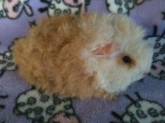 """Audrey's new baby texel guinea pig....""""Olive"""""""