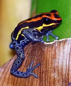 Poison dart frog Ranitomeya amazonica, one of more than 1,200 new species of plants and vertebrates discovered in the Amazon rain forest between 1999 and 2009.