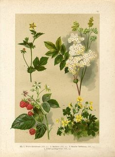 """1890 RASPBERRY BERRY FLOWERS Antique C.Hoffmans.  Original old German chromolithograph print after watercolor of  P. Wagner(not a modern reproduction) by Carl Hoffmanns.     The print has been printed by Naturkunde.Jul.Hoffmann,Germany,1890s.     Very decorative.It looks great when framed.     The overall size of this print with margins approx 11 1/4"""" x 8 1/4"""".  Sold $0.99"""