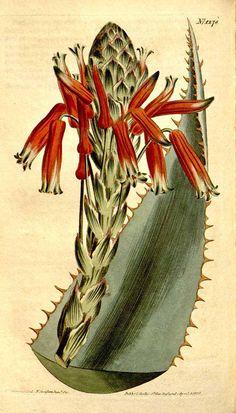 Aloe glauca Miller [as Aloe rhodacantha DC.] Curtis's Botanical Magazine, vol. 31: t. 1278 (1810) [S.T. Edwards]