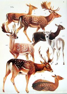 . Nature Animals, Animals And Pets, Cute Animals, Animal Sketches, Animal Drawings, Deer Drawing, Deer Art, Antique Illustration, Animal Posters