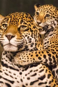 """b1ddc534a70 I Am In Love With Nature ™ on Instagram  """"🐾Jaguar and Cub🐆😍 ➖➖➖➖➖➖➖➖➖➖➖➖  ⏩keep loving Nature❤⏪ 📲Send Your Pics to us!!"""