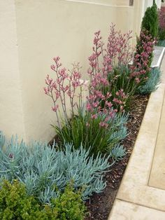 Narrow garden bed featuring Anigozanthos 'Pink Joey' (Pink Joey kangaroo paws) w. - Narrow garden bed featuring Anigozanthos 'Pink Joey' (Pink Joey kangaroo paws) with Senecio man - Front Flower Beds, Flower Bed Designs, Flower Ideas, Australian Native Garden, Australian Garden Design, Narrow Garden, Drought Tolerant Garden, Drought Resistant Plants, Xeriscaping