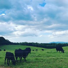 Angus on the hills. With @abreitmann #ranch #georgia #naturepics #landscapelovers #pasture #mountains #rollinghills  #farm #country #saturday #countryconcert #naturelovers #naturegram #naturephotography