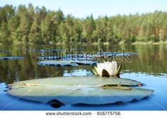 Stock Photo: Summertime scene with a water lily flower in the lake. -