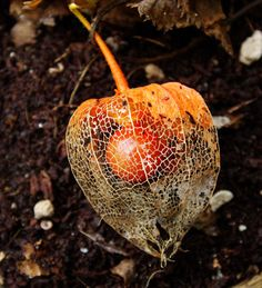 Japanese Lantern Fruit  - Life within death ...  Japanese Lantern, blooms during Winter and dries during Spring. Once it is dried, the bright red fruit is seen.