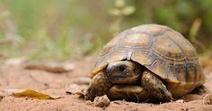 La tortue est un animal fascinant qui n'a pas fini de nous livrer tous ses secrets. Des chercheurs ont récemment découvert pour quelle raison les tortues ont une carapace.