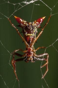 Devil Mask Spider.