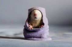 Hampster in a sock!