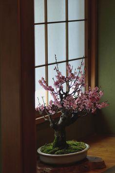 mini cherry blossom tree. want.