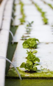 Using fish and pool-bound plants, three local farms are changing the way food is grown. (Photo by Ashley Landis)