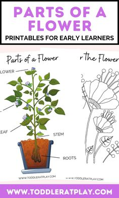 These Parts of a Flower Printables for Early Learners are a great way to begin learning about flowers and their parts. You'll find easy vocabulary, clear font and beautiful pictures in these printables. There will be a page where you'll need to cut out words of the flower parts and glue to the correct spot on the flower. This set includes 5 pages. #flowerprintables #kidsprintables Easy Science Projects, Science Activities For Kids, Preschool Activities, Preschool Lesson Plans, Preschool Printables, Summer Crafts, Crafts For Kids, Parts Of A Flower, Animals For Kids