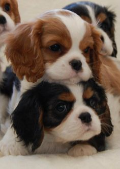 Adorables Chiots Cavalier King Charles