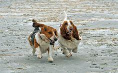 @Elizabeth Reilley and I.    Basset Hounds Running