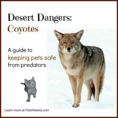 Desert Dangers: Learning to live with coyotes when you have dogs and cats.