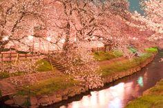 鴻巣市元荒川の夜桜