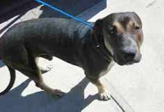 ROY (A1675811) I am a male black and tan Rottweiler mix. The shelter staff think I am about 2 years old. I was found as a stray and I may be available for adoption on 02/02/2015. — hier: Miami Dade County Animal Services. https://www.facebook.com/urgentdogsofmiami/photos/pb.191859757515102.-2207520000.1422695565./918169068217497/?type=3&theater