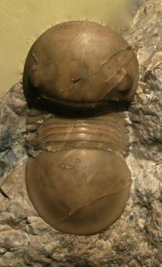 trilobite Bumastoides billingsi