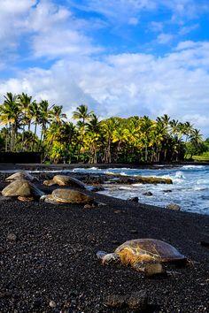 Turtles on Punaluu Black Sand Beach, The Big Island of Hawaii