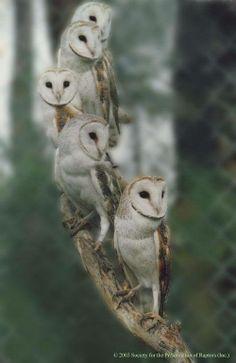 Vijf uilen op een tak