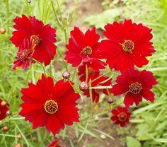 Hey, I found this really awesome Etsy listing at https://www.etsy.com/listing/190906993/plains-coreopsis-dwarf-red-ideal-for