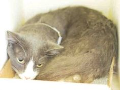 💜 Safe - 8-6-2017 Brooklyn Rescue: Feline Rescue of SI: Brooklyn Center LUCKY – A1120344 MALE, GRAY / WHITE, DOMESTIC SH MIX,4 yrs STRAY – STRAYAVAI, NO HOLD Reason STRAY Intake condition UNSPECIFIE Intake Date 07/30/2017, From NY 11691, DueOut Date 08/02/2017, is a healthy cat who seeks attention. Please consider making Lucky your new best friend.