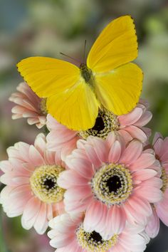 Yellow Sulfur Butterfly on pink Gerber Dasies