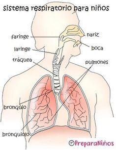 Medical Anatomy, Respiratory System, Study Notes, Science And Nature, Homeschool, Aurora Sleeping Beauty, Education, Children, Fondant