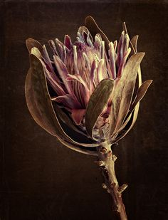 Dawn LeBlanc, Protea, photograph on canvas, 40 x 30 in Macro Photography, Backlight Photography, Photography Composition, Photography Aesthetic, Mountain Photography, Vintage Photography, Photography Ideas, Wedding Photography, Desert Plants