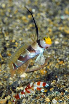Yellow nosed shrimpgoby and Randalls shrimp (Goby-Stonogobiops ...