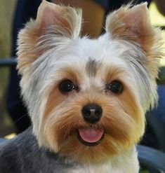 Summer Haircuts for Yorkies - Bing images Yorkies, Yorkie Puppy, Yorkie Hairstyles, Yorshire Terrier, Bull Terriers, Sweet Dogs, Yorkshire Terrier Puppies, Cute Dogs And Puppies, Corgi Puppies