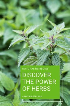 Do you want to experience the power of herbs in SalzburgerLand? Here are many places where you can experience the wondrous abilities of herbs and their delectable aromas. #herbs #nature #austria #salzburgerland Z Burger, Farm Gardens, Tasty Dishes, Austria, Remedies, Herbs, Canning, Places, Nature