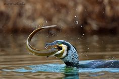 Cormorano ingordo di ALBERTI NELLO  Link immagine: http://www.juzaphoto.com/galleria.php?t=23523&l=it
