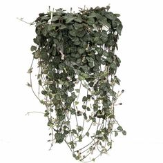 Rosary Vine 6 Hanging Pot Ceropegia Woodii String of Hearts ($13) ❤ liked on Polyvore featuring home, outdoors, outdoor decor, grey, home & living, outdoor & gardening, outside pots, succulent pots, outdoor patio decor and outdoor garden pots