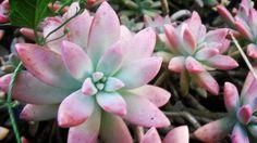 #succulent #succulentlove #succulentfreak #plant