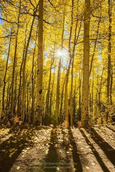 Among the Woods of Gold Boreas Pass, Colorado, USA  Credit : Forrest Boutin Photography