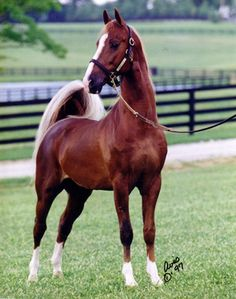 Saddlebred horses just KNOW how to turn your head...