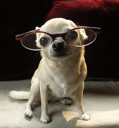 Nerd... Chihuahua in glasses.