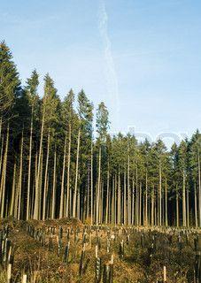 Svensk fyrretræ skov