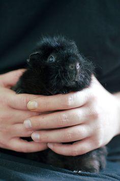 fluffy black guinea pig