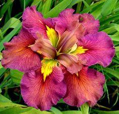 Criativa e Curiosa: Iris, uma das flôres mais lindas.